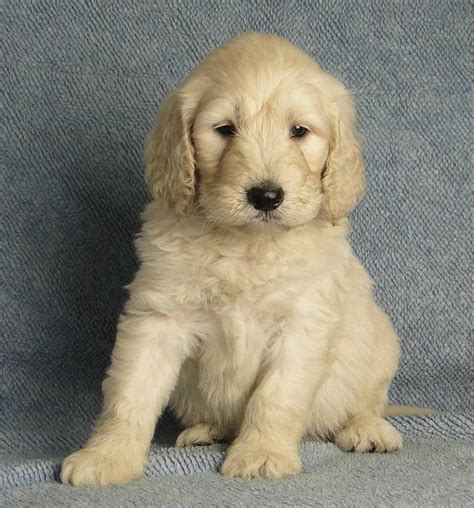 goldendoodle puppies for sale oklahoma goldendoodles f1 f1b 1800 breeds picture