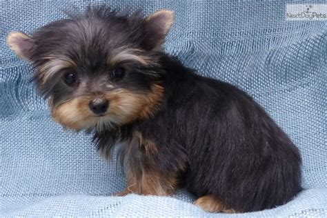 yorkie puppies for sale in st louis mo terrier yorkie puppy for sale near st louis missouri 883b7132 1b81