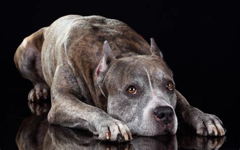 7 Health Conditions That Hit Dogs by 6 Most Common Health Problems Americanbullydaily