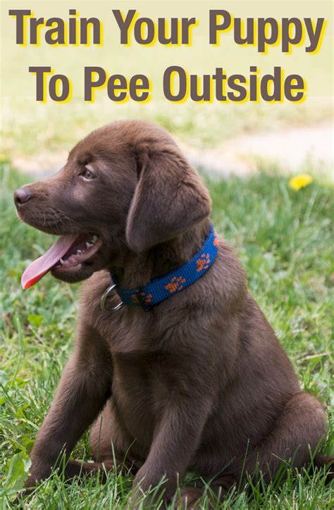what to do when your dog pees in the house how to train a puppy to pee outside