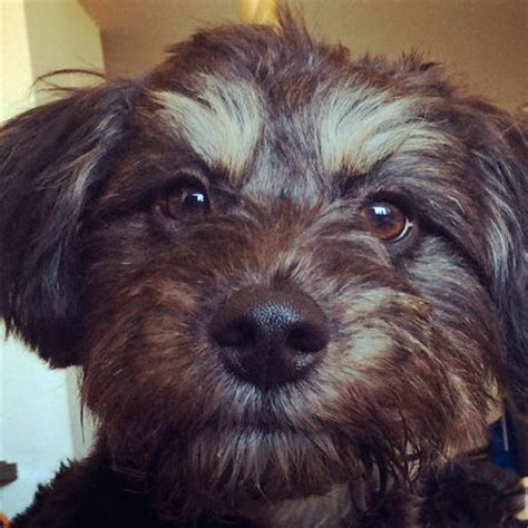 havanese chihuahua mix havanese chihuahua mix breeds picture