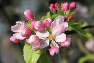 Apple Blossom State Flower - abundant apple blossom still life and silence