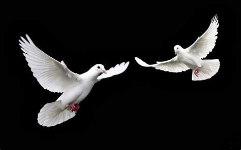 Imagenes De Palomas Blancas En Vuelo | tondero canciones cancionero tem 225 tico diciembre 2013