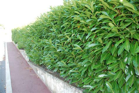 Kirschlorbeer Caucasica Wachstum by Kirschlorbeer Caucasica Lorbeer