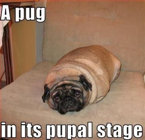 Funny Pug Memes - cute pugs