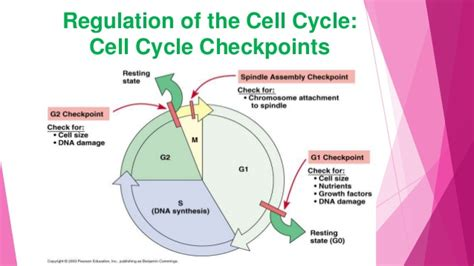 2 proteins that regulate the cell cycle my by dayananda salam