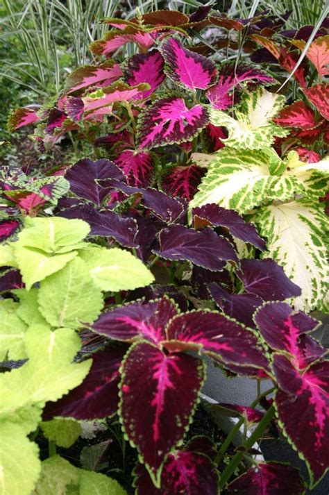 coleus rainbow mix popular colors and the o jays
