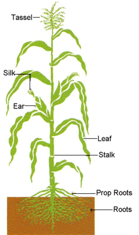 Labelled Diagram Of Wheat Plant