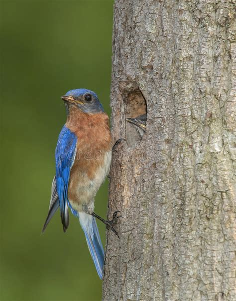eastern bluebird and baby at the nest stock photo image