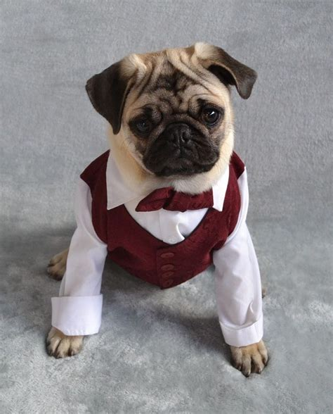 boy names for pugs best 25 dressed up dogs ideas on