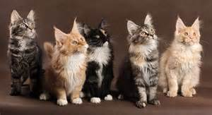 maine coon colors maine coon cats colors maine coon cats