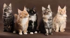 maine coon colors maine coon cats colors maine coon cats