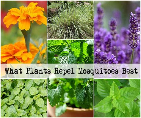 what plants repel mosquitoes best