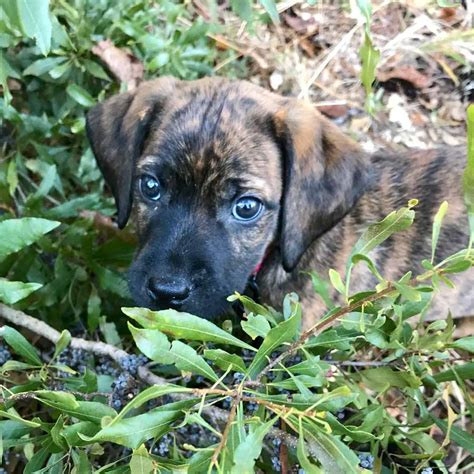 catahoula cur the catahoula cur