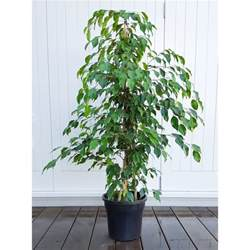 indoor plants nz weeping fig ficus benjamina tall with fine foliage plantandpot nz
