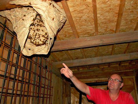 hornissennest im haus hornissen bauen riesennest im ziegenstall rheinfelden