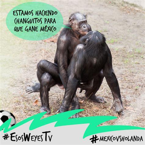 imagenes chistosas sacando la lengua memes de monos los mas chistosos divertidos para compartir