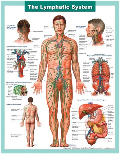 Lymphatic Drainage Detox by Best 25 Lymphatic System Ideas On Detox