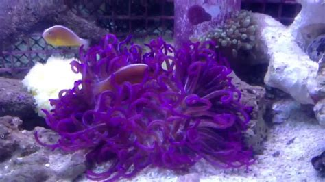 Karpet Nmax Nemo purple carpet anemone care homedesignview co