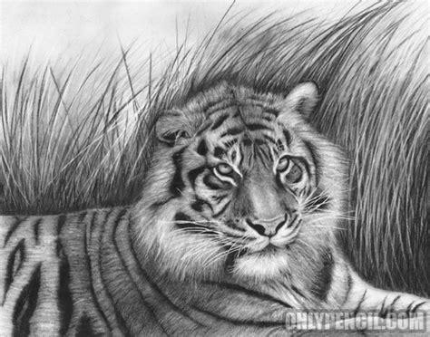 tigers archives onlypencilcom wildlife pencil