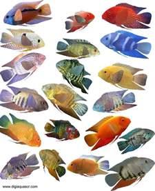 types of aquarium fish severum fish species gold severum green severum black severum different types of fishes in