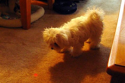 dogs and laser pointers how lolcats and laser pointers are bad for our pets smart news smithsonian