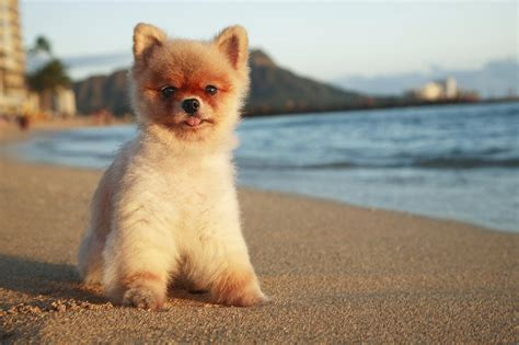 national pomeranian day pomeranian in waikiki by brandon tabiolo printscapes