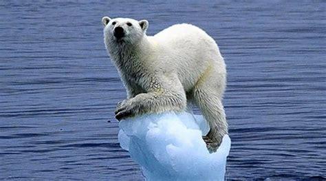 oso polar oso polar 080506902x oso polar sobre un trozo de hielo aparece en la costa cant 225 brica hay noticia