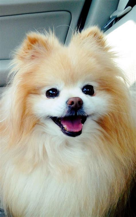 cute puppy android wallpapers for free cute boo pomeranian android wallpaper free download