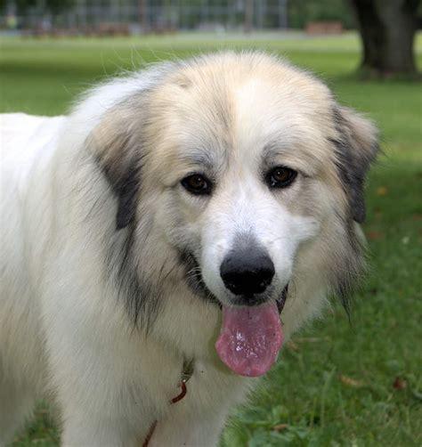 pyrenean mountain pyrenean mountain dogs breed information omlet
