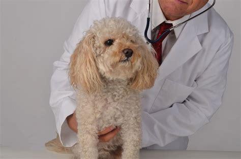 cushing disease dogs canine cushings disease pets4homes