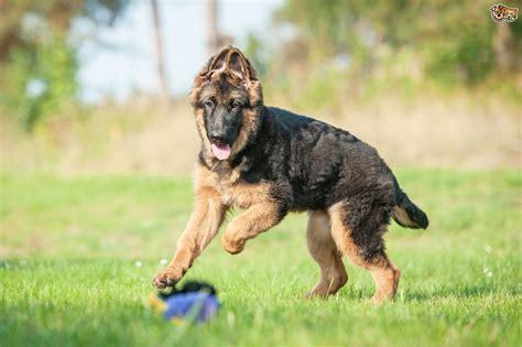 trained german shepherd puppies the german shepherd puppy pets4homes
