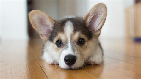 corgi puppies for sale image gallery small breeds breeds picture