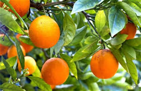 Pupuk Bunga Jeruk cara menanam tabulot jeruk sunkist tanaman bunga hias