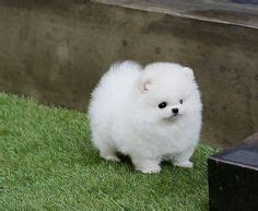 teacup pomeranian puppies for sale 250 teacup pomeranian puppy auf