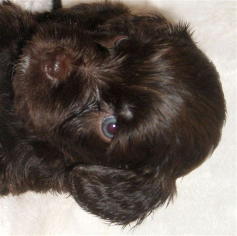 chocolate labradoodle puppies chocolate labradoodle puppies search animals puppys search