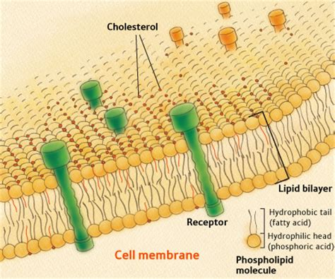 stephanies page   cholesterol protects membranes