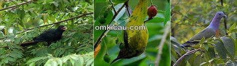 pohon kersen bisa mengundang burung liar buahnya