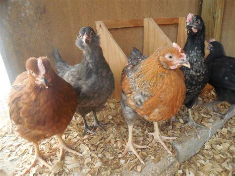 Joan S Backyard Chickens Loving The Backyard Chickens