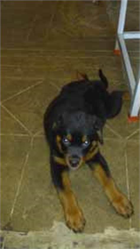 rottweiler health problems rottweiler health problems breeds picture