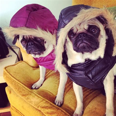winter jackets for pugs pugs in parkas animals