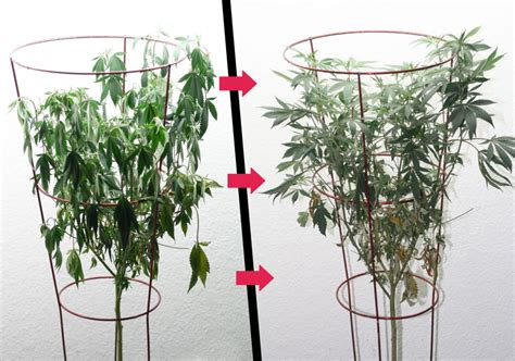 how to revive a plant how to fix wilting and drooping cannabis plants