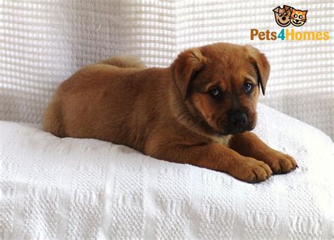 rottweiler bullmastiff mix puppies for sale stunning puppies rottweiler cross mastiff manchester greater manchester pets4homes