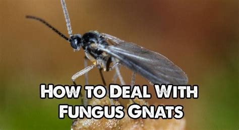 how to get rid of gnats in backyard 17 best images about garden pests on pinterest asparagus