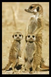 Glass Gaming Desk Meerkats Poster Sold At Europosters
