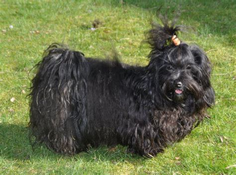 havanese black havanese breed 187 information pictures more