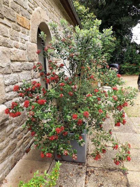 Callistemon Variegata petits bouquets de juillet
