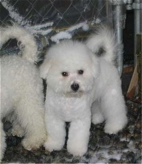pomeranian puppies for sale in vancouver washington pomsky for sale in vancouver wa breeds picture