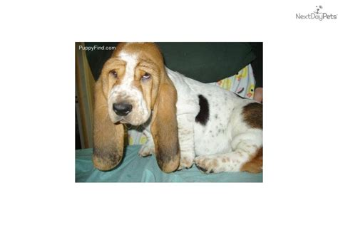 european basset hound puppies for sale european bred basset hound puppy for sale near detroit metro michigan b76ad71c 64e1
