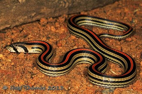 Korek King Yellow Ular Plus Asbak 1000 images about in the jungle on pit viper singapore and snakes